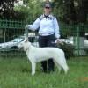 Белая Швейцарская овчарка White Swiss Shepherd Dog — О породе