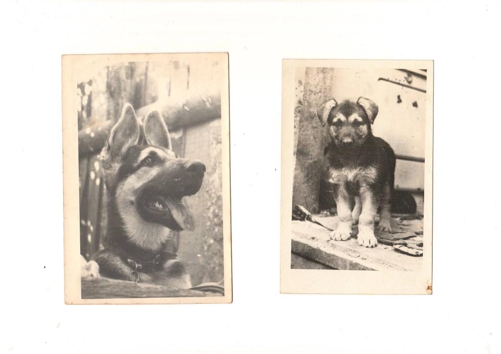 Восточноевропейская овчарка Инга, вл. Лисицын С.А. 1971 год.