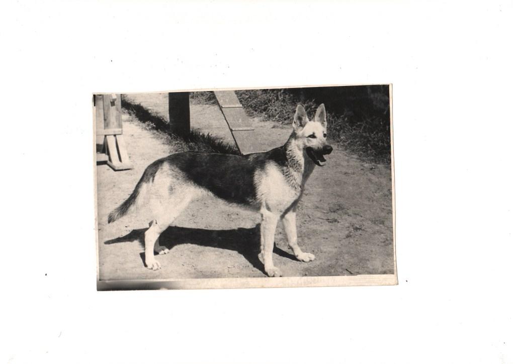 Восточноевропейская овчарка Инга, вл. Лисицын С.А., 1972 год.